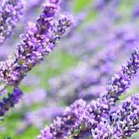 calm wild lavender